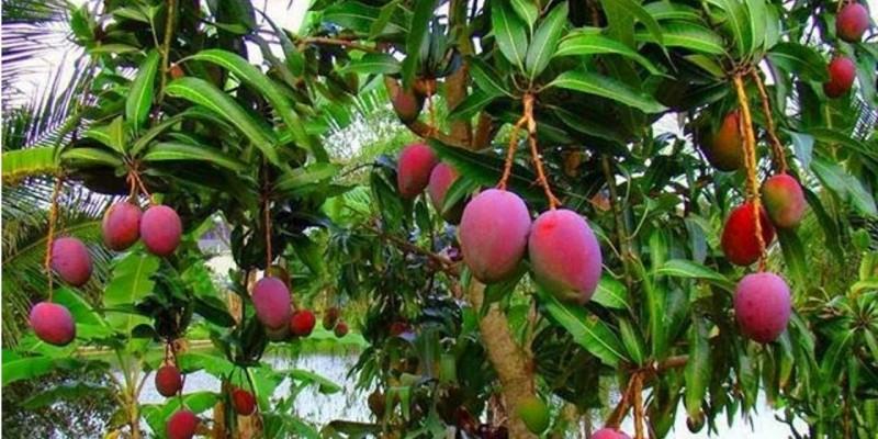 Pedidos de mudas frutíferas, nativas e ornamentais já podem ser feitos na Secretaria de Agricultura de São Ludgero