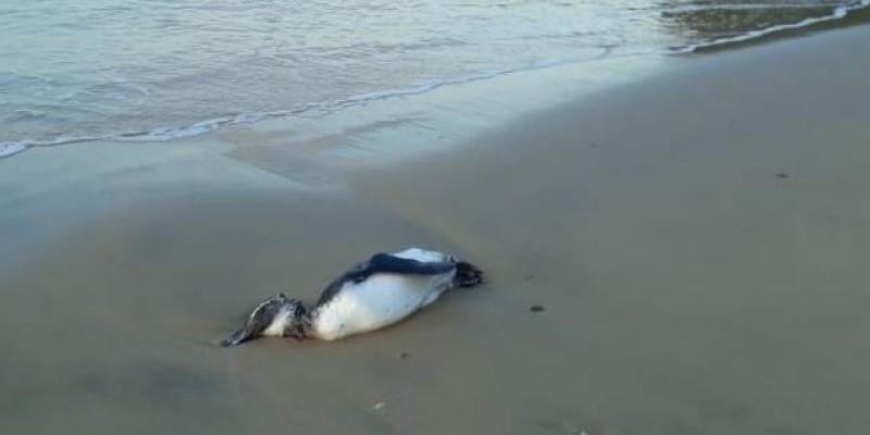 Mais de 40 pinguins aparecem mortos na praia de Bombinhas