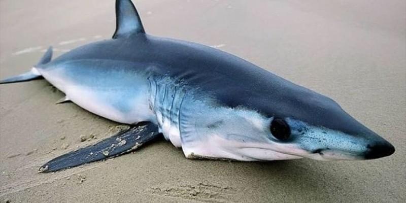 Tubarão mais rápido do mundo aparece morto em praia de Imbituba