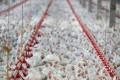 China afirma que asas de frango congeladas do Brasil apresentam teste positivo para coronavírus