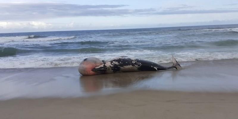 Mortes de baleias e golfinhos nas praias de SC preocupam biólogos