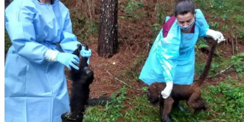 Serra Catarinense: macacos têm mortes confirmadas por Febre Amarela