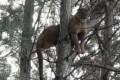Vídeo mostra leão-baio no alto de árvore para fugir de cães na Serra Catarinense