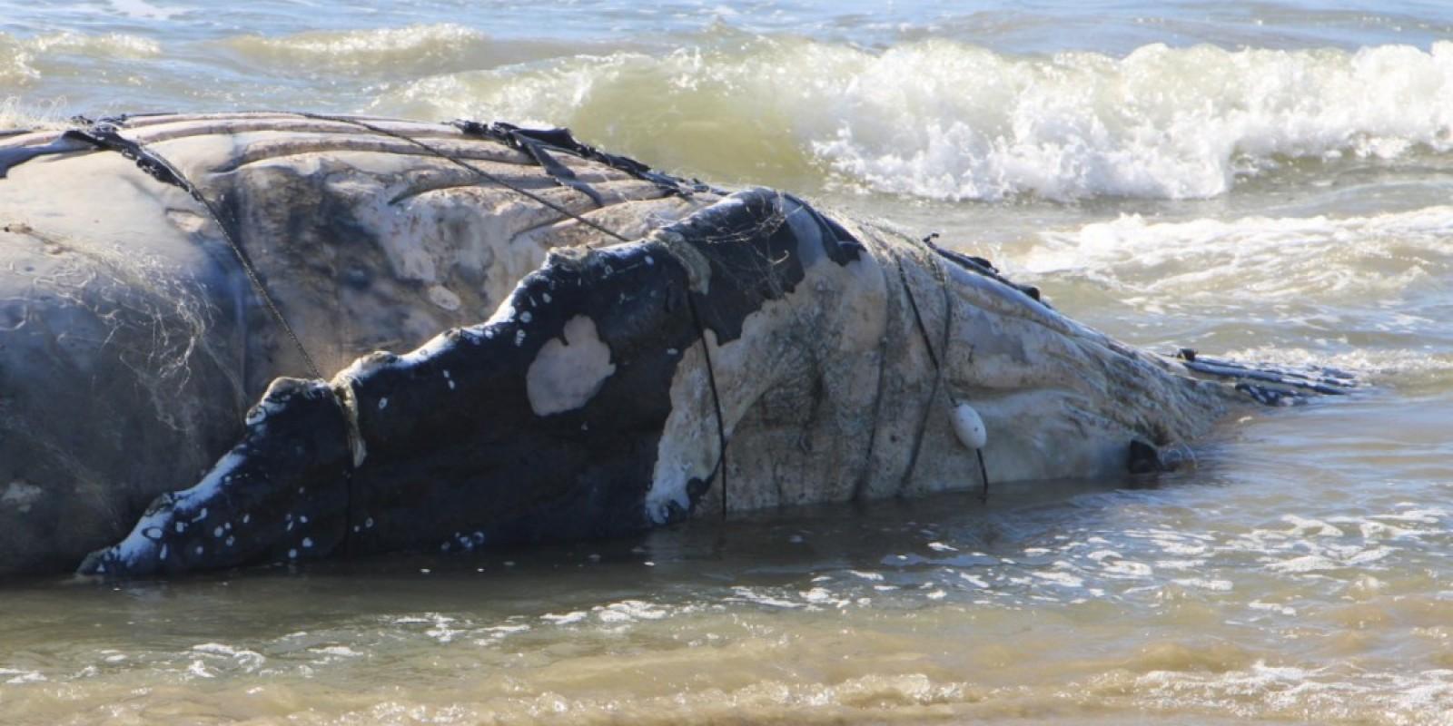 Baleia jubarte é encontrada morta enrolada em rede de pesca em Laguna